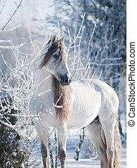 retrato, andalusian, caballo blanco, invierno