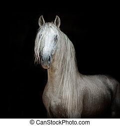 retrato, andalusian, cavalo preto