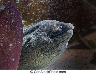 retrato, anguila, moray