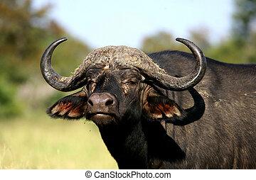 retrato, búfalo, africano