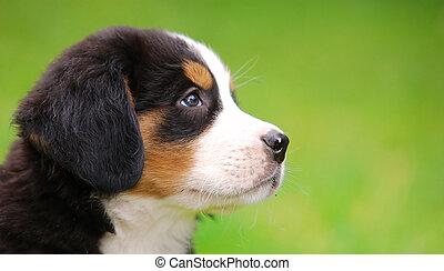 retrato, bernese, perro, montaña