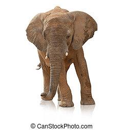 retrato, bull, elefante