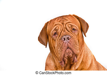 retrato, burdeos, de, dogue