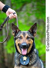 retrato, cão policial, trabalhando