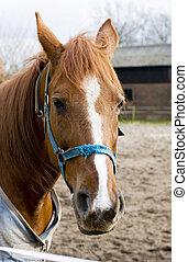 retrato, caballo, marrón