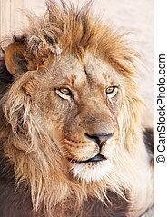 retrato, cabeza, león, animal