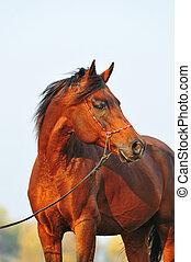 retrato, cavalo, árabe, baía