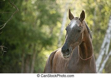 retrato, cavalo
