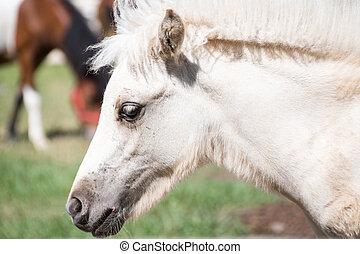 retrato, cavalo, branca, prado