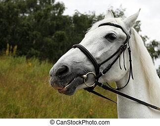 retrato, cavalo branco