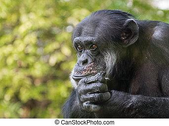 retrato, chimpancé, triste
