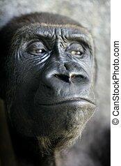 retrato, cierre, mono, arriba, gorila