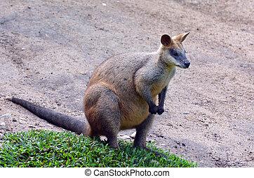 retrato, de, ágil, wallaby, em, queensland, austrália