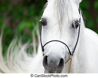 retrato, de, blanco, árabe, stallion., cicatrizarse