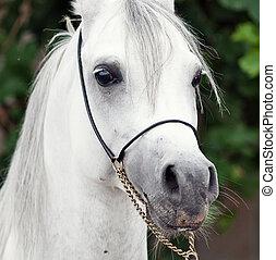 retrato, de, blanco, asombroso, árabe, stallion., cicatrizarse