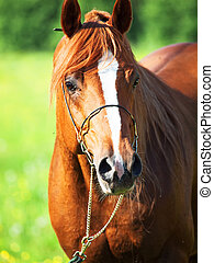 retrato, de, caballo árabe, en, motion., cicatrizarse