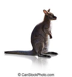 retrato, de, canguru