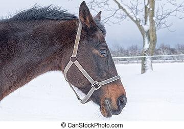 retrato, de, cavalo, cabeça, em, inverno
