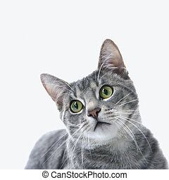retrato, de, cinzento, listrado, cat.