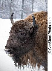 retrato, de, europeu, bisonte, bisonte, bonasus, em,...