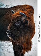 retrato, de, europeu, bisonte, em, inverno, forest.