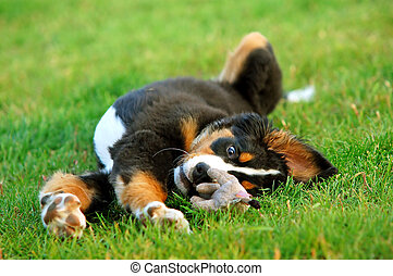 retrato, de, filhote cachorro, cão montanha bernese