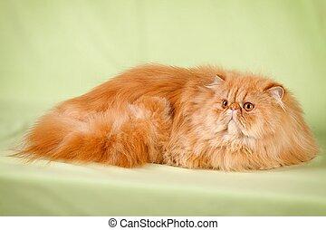 retrato, de, hermoso, gatos