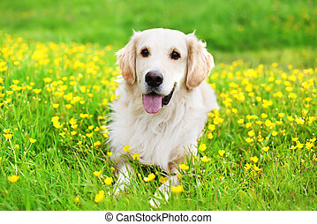 retrato, de, hermoso, perro cobrador dorado, perro, acostado, en, el, hierba verde, cerca, flores amarillas, en, soleado, día de verano