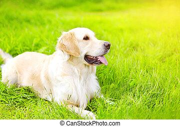 retrato, de, hermoso, perro cobrador dorado, perro, acostado, en, el, hierba verde, en, soleado, día de verano