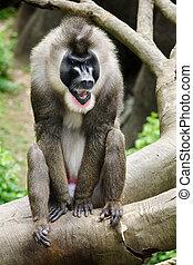 retrato, de, macho, babuíno