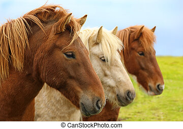 retrato, de, purebred, islandês, cavalos