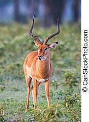 retrato, de, um, bonito, macho, impala, ram, áfrica.