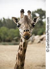 retrato, de, um, girafa