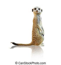retrato, de, um, meerkat