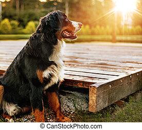 retrato, de, um, pacata, amigável, cão, jardim