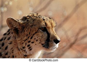retrato, de, un, guepardo, (acinonyx, jubatus), en, el,...