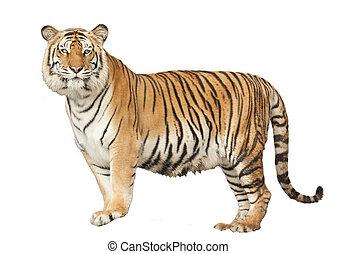 retrato, de, un, real, tigre de bengala