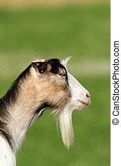 retrato, encima, verde,  goat, Plano de fondo
