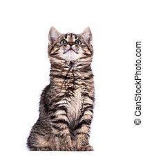 retrato, eyed verde, gato