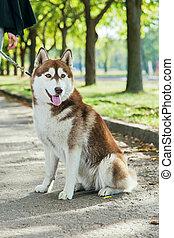 retrato, fornido, perro, con, un, sonrisa