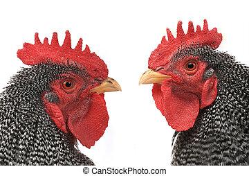 retrato, gallo