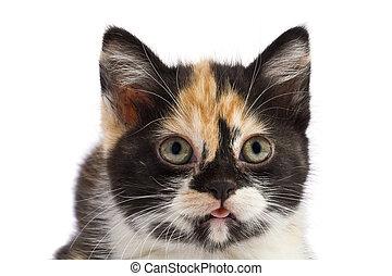 retrato, gatito