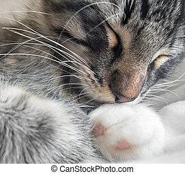 retrato, gato durmiente