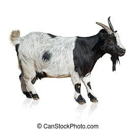 retrato, goat