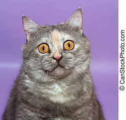 retrato, grueso, divertido, gato, con, amarillo, ojos, en, púrpura