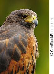 retrato, halcón de harris