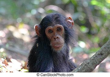 retrato, joven, chimpancé