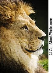retrato, leão
