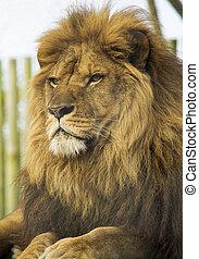 retrato, leão, macho