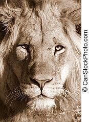 retrato, león, africano, cara